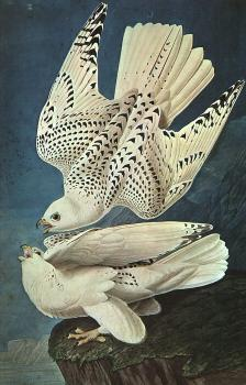 Graphic White Gerfalcons