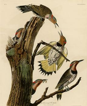 Golden winged woodpecker