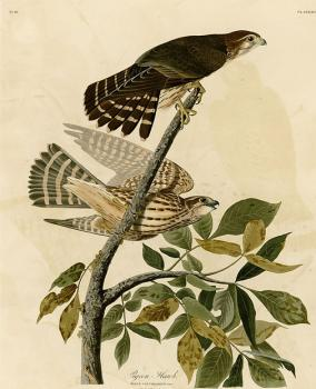 John James Audubon : Pigeon hawk