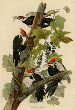 John James Audubon : Pileated woodpecker