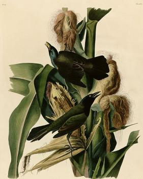 John James Audubon : Purple grakle or common crow blackbird