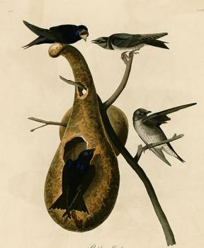 John James Audubon : Purple martin