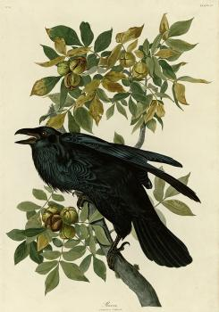 John James Audubon : Raven