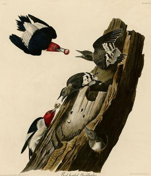 John James Audubon : Red headed woodpecker