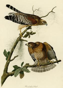 John James Audubon : Red shouldered hawk