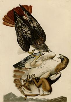 John James Audubon : Red tailed hawk