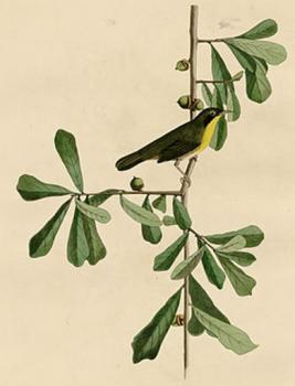 John James Audubon : Roscoe's yellow throat