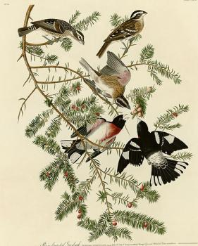 John James Audubon : Rose breasted grosbeak, plate 127