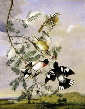 John James Audubon : Rose Breasted grosbeak