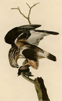 John James Audubon : Rough legged falcon