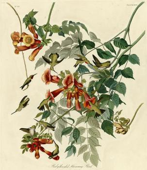John James Audubon : Ruby throated humming bird