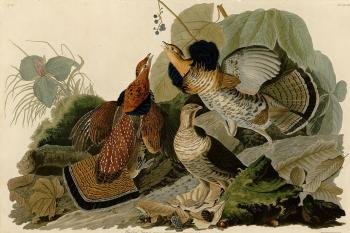 John James Audubon : Ruffed grouse