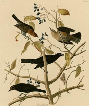 John James Audubon : Rusty grakle