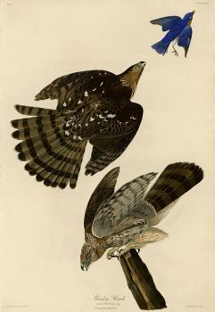 John James Audubon : Stanley hawk