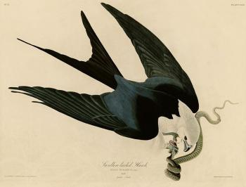 John James Audubon : Swallow tailed hawk