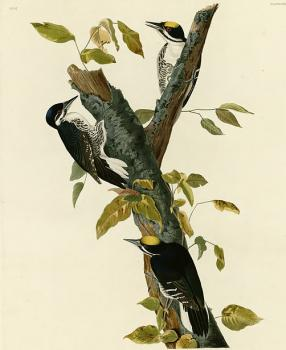 John James Audubon : Three toed woodpecker