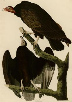 John James Audubon : Turkey buzzard
