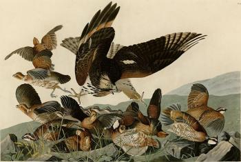 John James Audubon : Virginian partridge