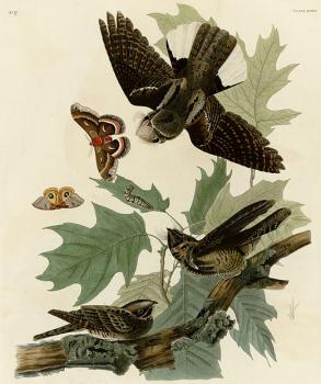 John James Audubon : Whip poor will