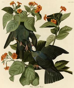 John James Audubon : White crowned pigeon crop