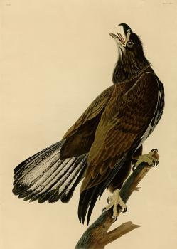 John James Audubon : White headed eagle, plate 126