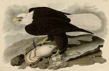 John James Audubon : White headed eagle