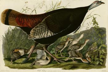 John James Audubon : Wild turkey, Plate 6