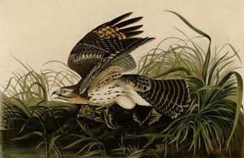 John James Audubon : Winter hawk
