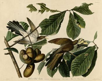 John James Audubon : Yellow billed cuckoo