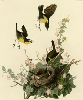 John James Audubon : Yellow breasted chat