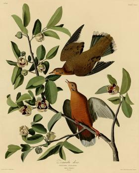 John James Audubon : Zenaida dove