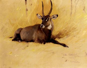 Friedrich Wilhelm Kuhnert : A Common Waterbuck