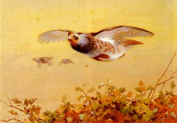 Archibald Thorburn : English Partridge In Flight
