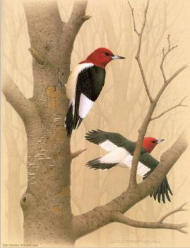 William Zimmerman : Red headed Woodpecker
