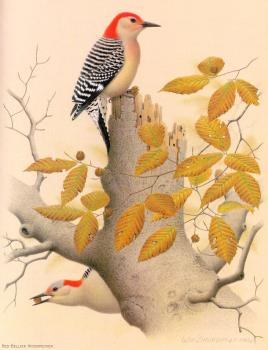 William Zimmerman : Red-bellied Woodpecker