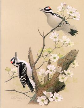 William Zimmerman : Hairy Woodpecker