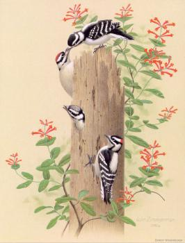 William Zimmerman : Downy Woodpecker