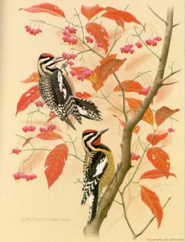 William Zimmerman : Yellow-bellied Sapsucker