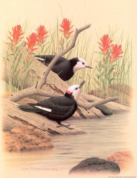 William Zimmerman : White-headed Woodpecker