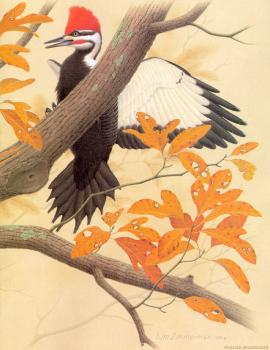 William Zimmerman : Pileated Woodpecker II