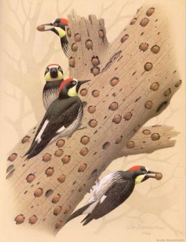 William Zimmerman : Acorn Woodpecker
