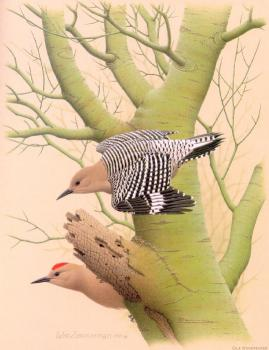 William Zimmerman : Gila Woodpecker
