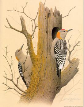 William Zimmerman : Golden-fronted Woodpecker