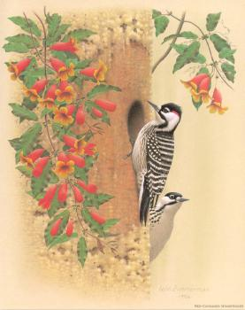 William Zimmerman : Red cockaded Woodpecker
