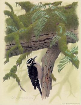 William Zimmerman : Hairy Harris Woodpecker