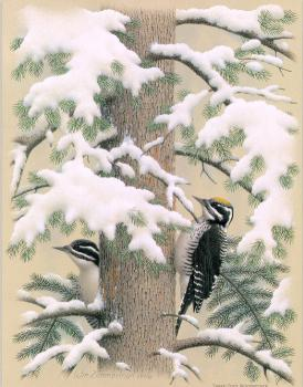 William Zimmerman : Three-toed Woodpecker