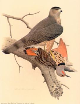 William Zimmerman : Northern Red shafted Flicker