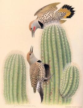 William Zimmerman : Northern Gilded Flicker