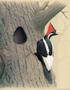 William Zimmerman : Ivory billed Woodpecker II