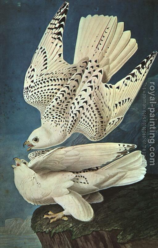 John James Audubon : Graphic White Gerfalcons